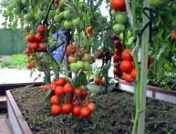 как правильно ухаживать за помидорами