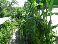 Галки съели кукурузу