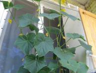 Выращивание огурцов в домашних условиях
