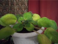 у фиалки желтеют листья