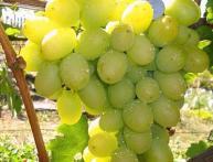как укоренить черенки винограда