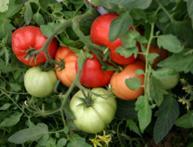 как часто поливать помидоры