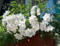 цветение паслена