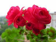 пеларгония Пак вива розита