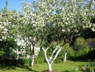 когда белят плодовые деревья