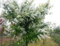 черемуха дерево