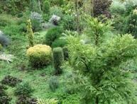 хвойные вечнозеленые