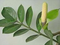 выращивание замиокулькаса