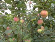 яблоня вэм розовый