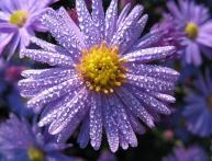 сентябринки уход за растением