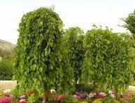 дерево тутовник