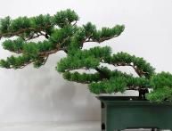 история искусства бонсай