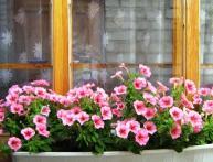 как вырастить петунию в домашних условиях