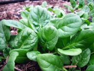шпинат огородный