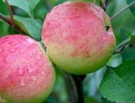 яблоня из семечек