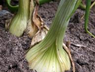 как вырастить лук репчатый
