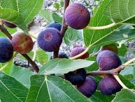 Инжир дерево