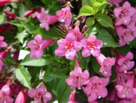 Вейгела цветение
