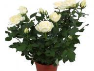 Роза белая на окне