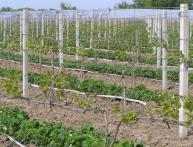 Применение гербицидов в выращивании клубники