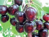 Спелые ягоды черешни Ипуть