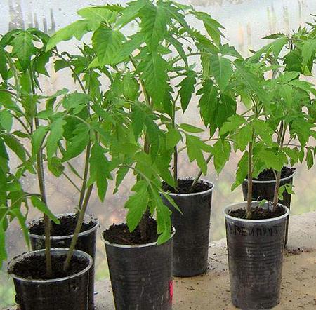 Выращивание рассады томатов на балконе