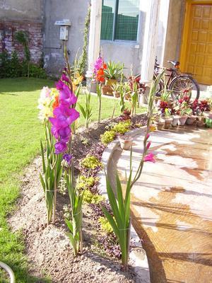 цветы гладиолуса