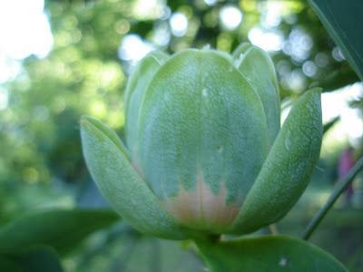 тюльпановое дерево на фото