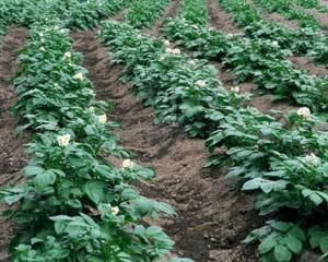 Каким бывает приспособление для посадки картофеля