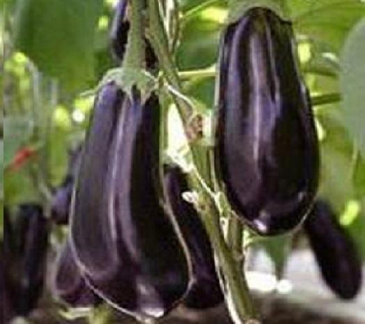Как садить баклажаны на рассаду