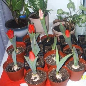 Как сажать тюльпаны дома?