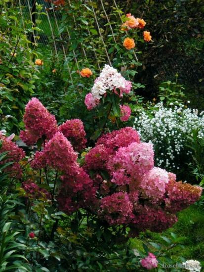 гортензия в саду