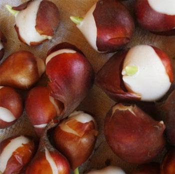 когда высаживать в грунт луковицы тюльпанов