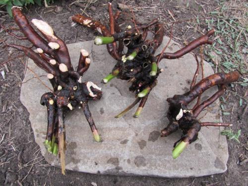 деление корня пион