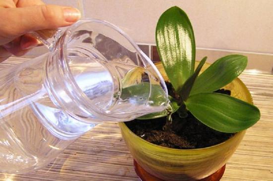 можно ли поливать орхидею серху