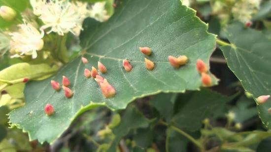 галлы на дубовом листе