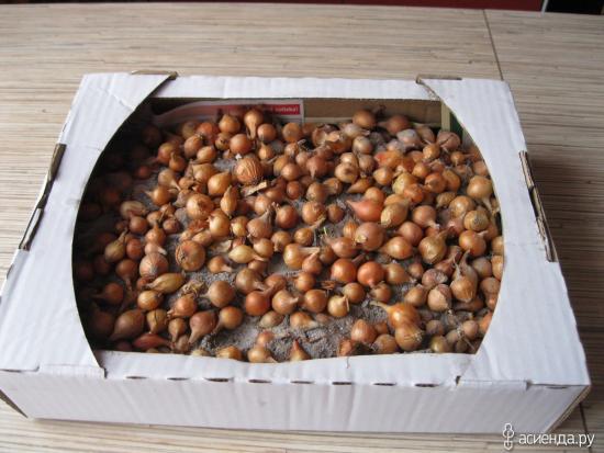 лук севок в коробке
