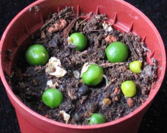 нерине семена