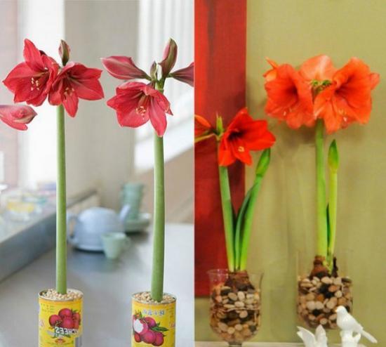 Почему не цветет амариллис в домашних условиях, как спровоцировать цветение