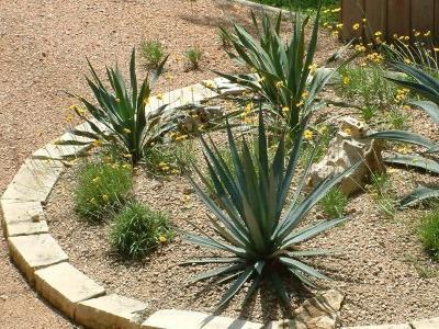 Как посадить юкку, а также правила деления и пересадки взрослого растения