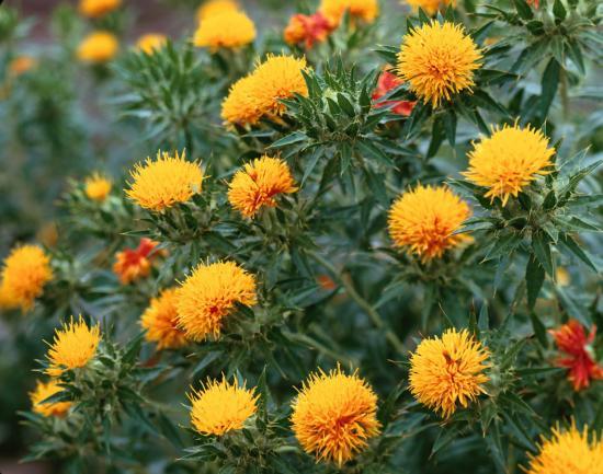 сафлора декоративное растение