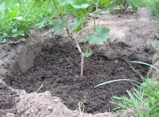 высадка винограда в нрунт