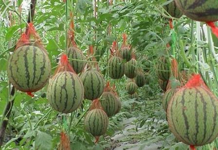 арбузы выращивание в теплице