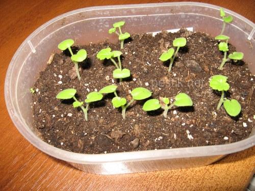 пеларгония из семян