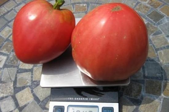 томат сенсей