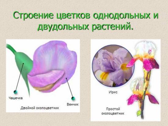 цветок двудольного растения и однодольного