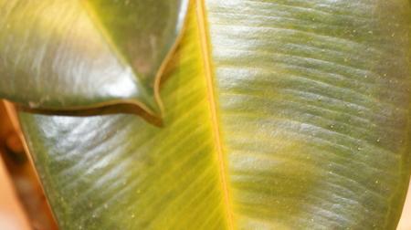 желтеют листья на фикусе