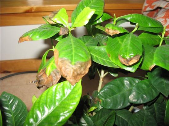 У гардении чернеют и опадают листья, что делать, правила ухода