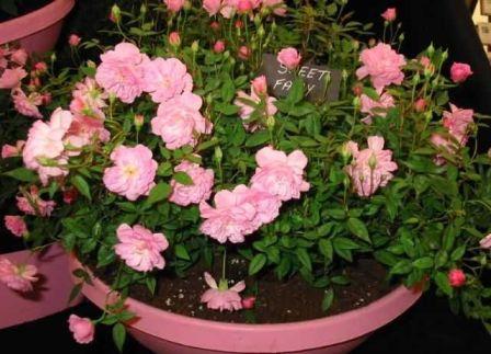 мини-розі