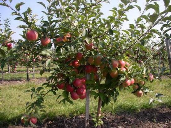 польский сорт яблок чемпион